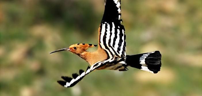 Rüyada Hüdhüd Kuşu Görmek
