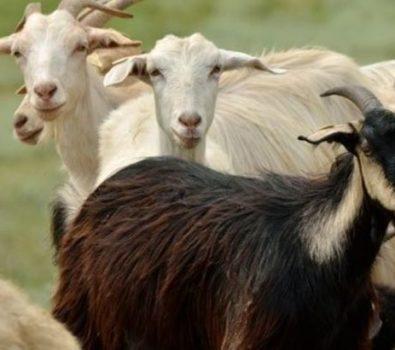 Rüyada Koyun Keçi Görmek