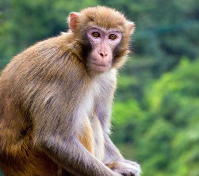 Rüyada Maymun Görmek